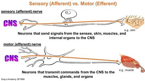 motor efferent efferent and afferent neurons anatomy