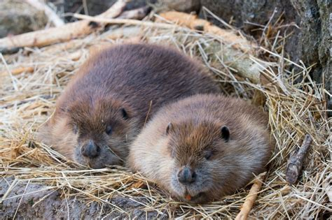 Beaver Pc Thats Actual Beaver Not The Brand Beaver by Pictures Of Animals That Look Like Beavers Pictures Of