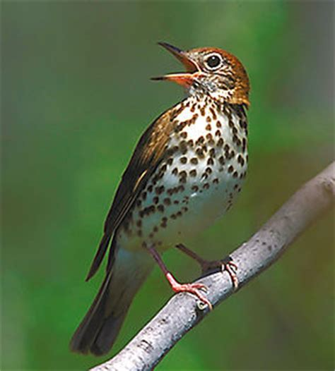 thrush bird funny animal