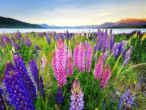 lupinus flowers   colors desktop background hd