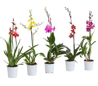 orchideen samen kaufen orchidee 1 trieber sortenmix dehner garten center
