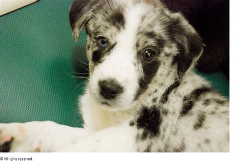 puppy spots white australian cattle puppy with black spots png