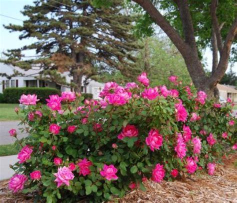 knockout colors knockout roses colorsugg stovle