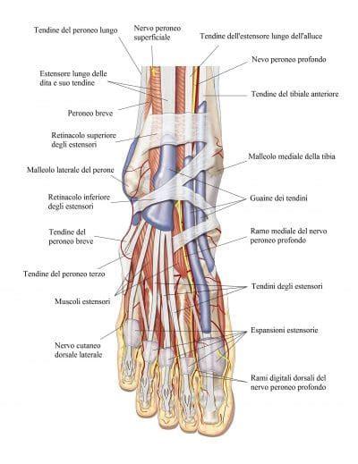 interno caviglia metatarsalgia piede acuta o cronica di morton