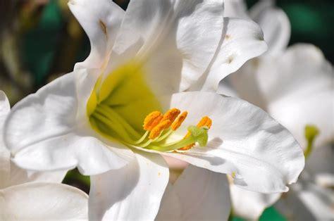fiore giglio bianco come coltivare il giglio bianco idee green