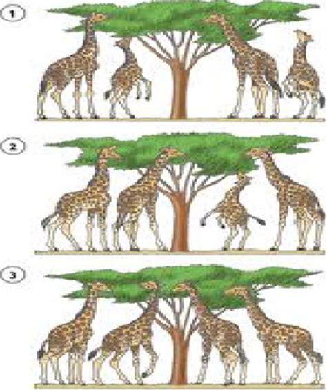 imagenes de las jirafas de darwin anime c naturales