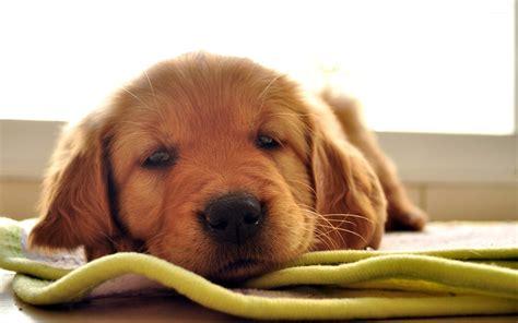 animals golden retriever sleepy golden retriever puppy wallpaper animal wallpapers 22503