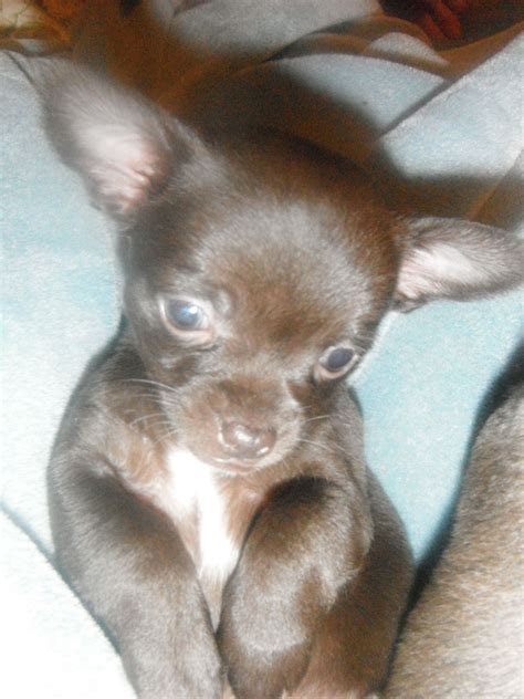 breeder indiana black with brown markings breeds picture