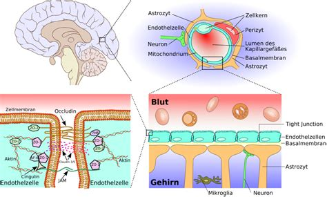 blut liquor schranke file blood brain barrier 02 png wikimedia commons