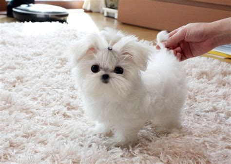 puppies for sale in anchorage teacup maltese puppies text 2525011949 anchorage for sale anchorage pets dogs