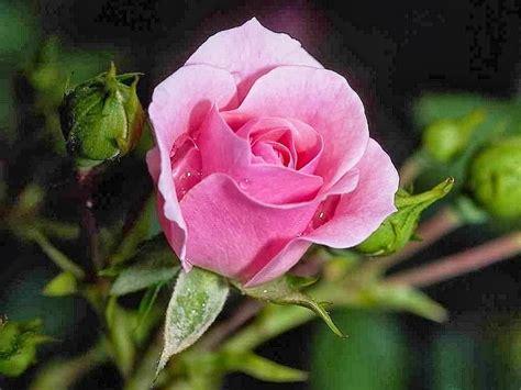 gambar bunga mawar myideasbedroom