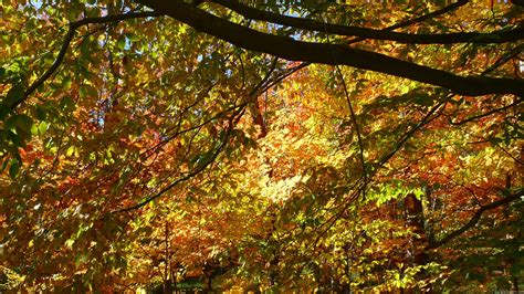 Canopy Of Leaves mlewallpapers canopy of fall leaves i