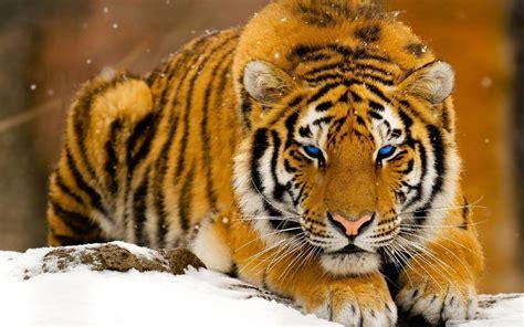 imagenes en 3d animales tigres para fondos de pantalla gratis fondos de