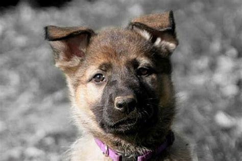 puppy has bloody diarrhea leerburg diarrhea in puppies