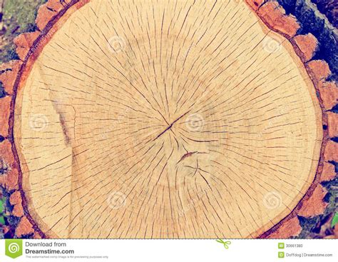 tree cross sections tree cross section stock photo image 30661380