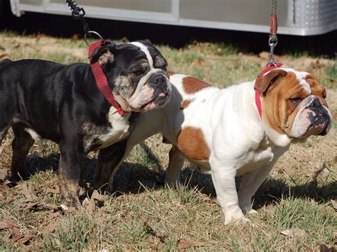 puppies for sale in salisbury md akc puppies for sale in maryland akc marketplace