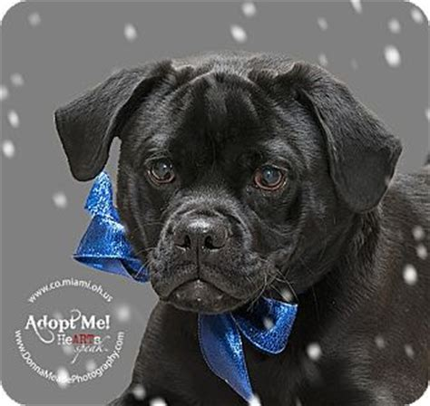 pug lab mix spook adopted 1005d troy oh labrador retriever pug mix
