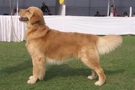 golden retriever price in india golden retriever puppy for sale india breeds picture