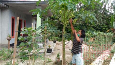 Benih Kacang Panjang Cendana kwt melati optimalkan pekarangan jadi sumber pangan