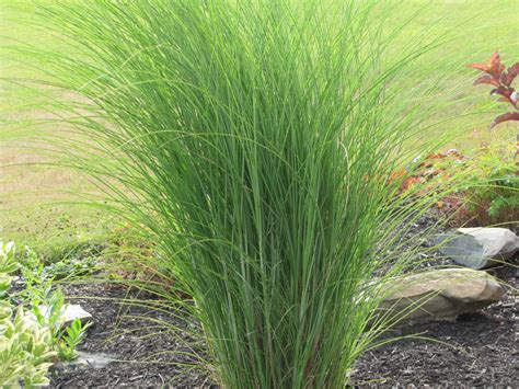 ornamental grasses you had me at quot hello quot an obsessive