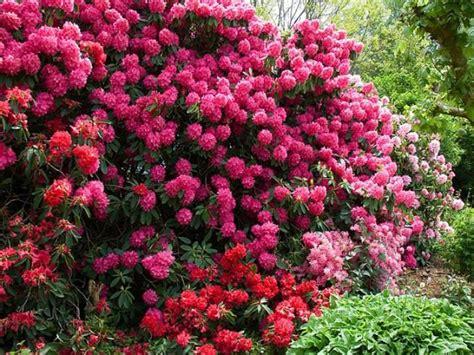 Arbuste Fleuri Feuillage Persistant by Arbuste A Feuillage Persistant 9 Les 25 Meilleures