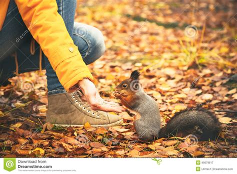 libro animal seasons squirrels autumn squirrel eating nuts from woman hand and autumn leaves on background wild nature stock image