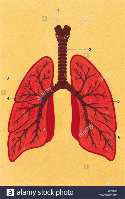 system drawing color respiratory system schematic drawing of the trachea and