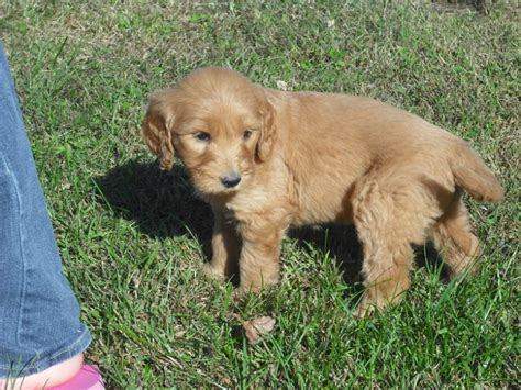 doodle indiana puppies for sale goldendoodle goldendoodles f
