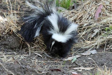 Why Does House Smell Like Skunk What To Do If You A Skunk Problem Abc Humane Wildlife
