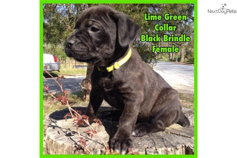 corso puppies for sale near me corso mastiff for sale for 1 200 near south jersey new jersey 8653deb2 97f1