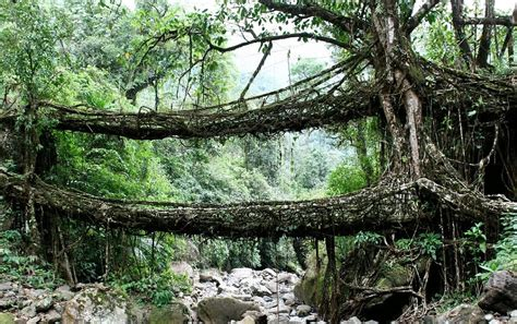 what is root bridge these amazing bridges are actually alive wettest corner of the world is of river crossings