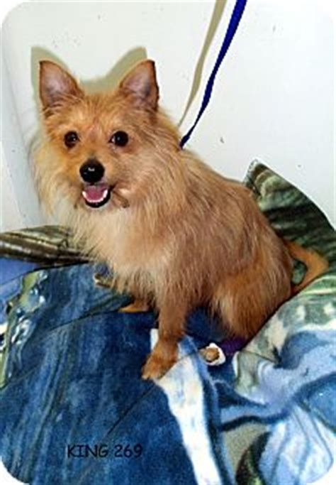 cairn terrier pomeranian mix king 269 adopted 269 waldorf md cairn terrier pomeranian mix