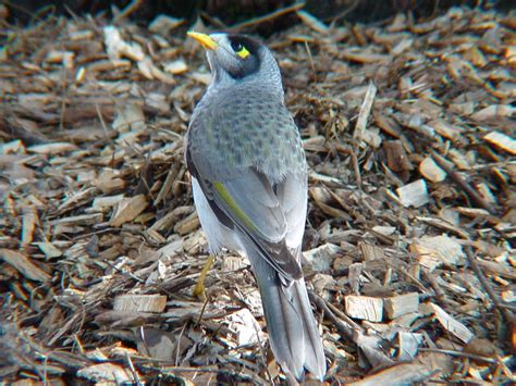 australian backyard birds noisy miner birds in backyards
