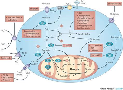 pyruvate oxidation diagram targeting tumour metabolism metabolic pathways and enzymes