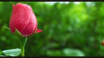 bunga mawar bunga yang paling indah jongose