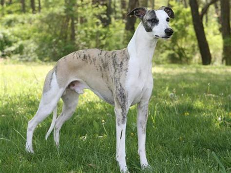 Whippet Shedding by Big Breeds That Dont Drool Pictures Breeds Picture