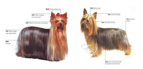 silky yorkie puppy the world s catalog of ideas