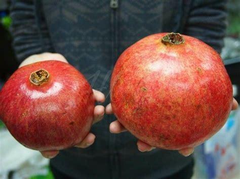 Buah Tangan Murah Kaos Negara Turki jual bibit tanaman buah delima turki pomegranate di lapak hgs kipli suf