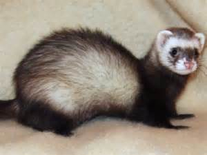 owners say ferrets are pets officials say pest business insider