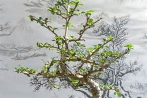 Tree Meanings Bonsai Tree Meaning Images