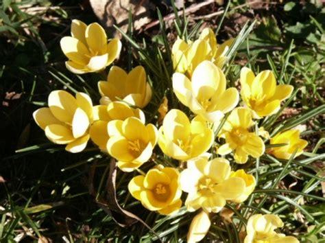 bulbi da fiore perenni crochi bulbose perenni