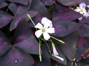 plant profile purple shamrock oxalis triangularis