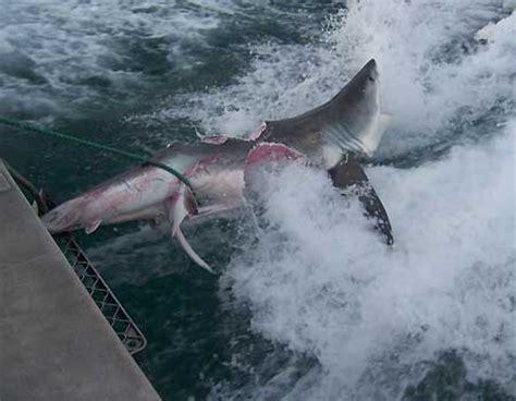 Stang Top Secret By Klxarea 身長恐達20英尺 約6公尺 的超級大鯊 差點把一隻大白鯊咬成兩半 饅太郎之家 隨意窩 xuite日誌