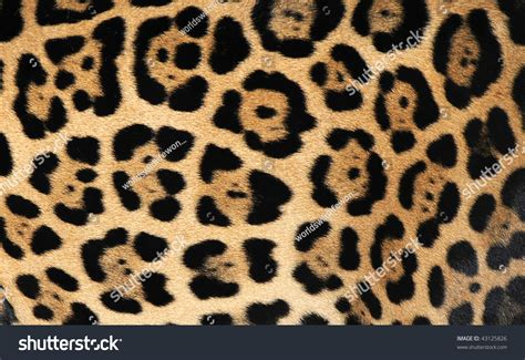 jaguar pattern house cat close up of jaguar or pantera onca showing flower pattern