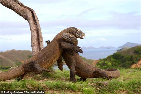 enter  dragon komodos fight  indonesia