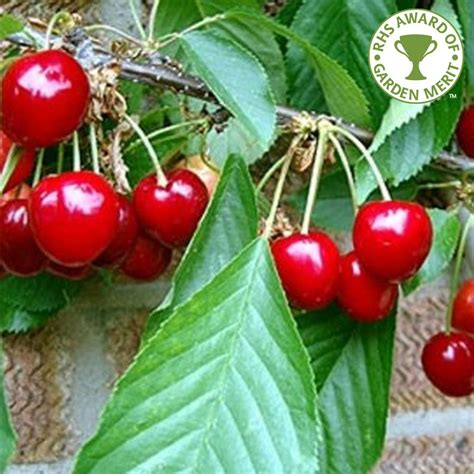 cherry trees fruit cherry stella buy cherry trees purchase cherry fruit trees