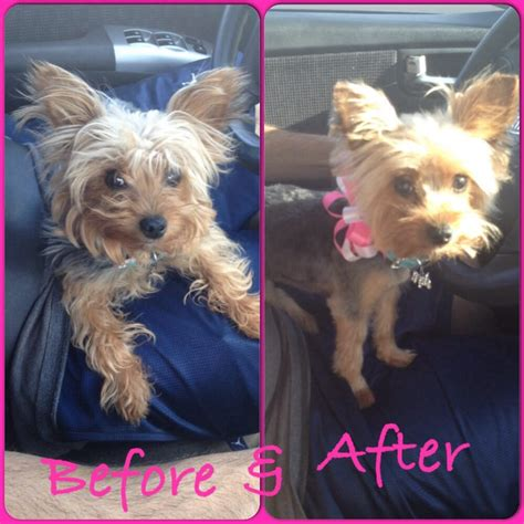 before and after terriers hair cut yorkie summer cut yelp