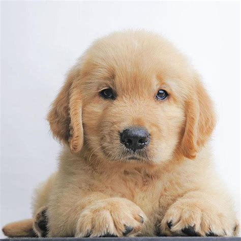 puppy names for golden retrievers golden retriever names unique ideas