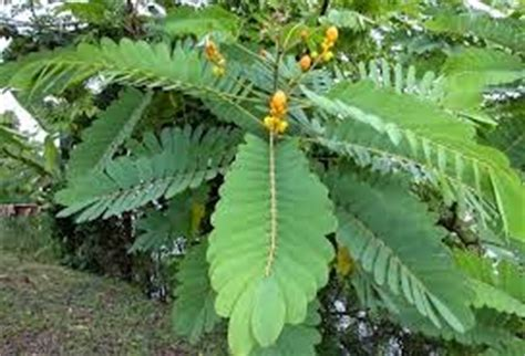 Senna Glycosides Also Search For Indian Senna Senai Ki Patti Relief From Constipation With Leaves