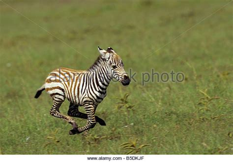 Baby Zebra zebra baby not zebras stock photos zebra baby not zebras